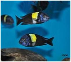 Stadne Tropheusy - roślinożercy z jeziora Tanganika