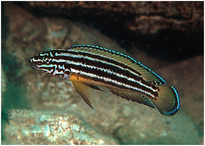 julidochromis regani.